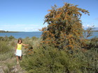 Sea-buckthorn tree is very popular in Issyk-Kul region of Kyrgyzstan. We had a perfect example near the place we lived, on the shore of the Lake Issyk-Kul.